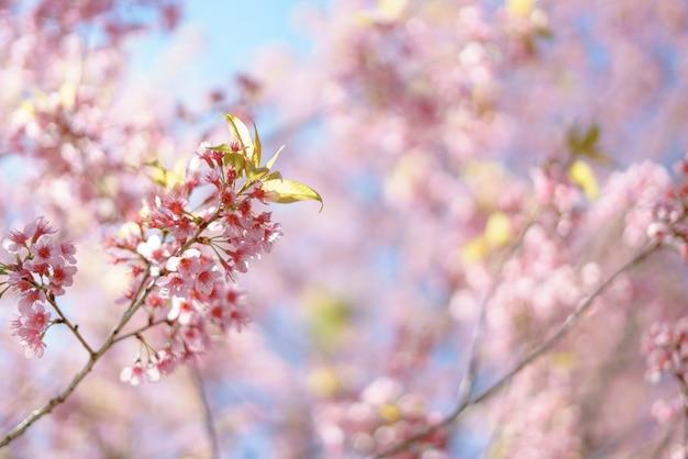 Blühende wilde himalaya-kirsche
