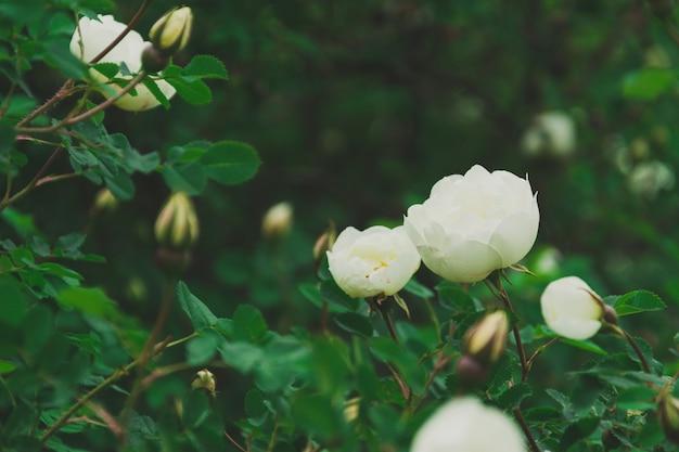 Blühende wilde weiße rosen in den grünen blättern eines busches