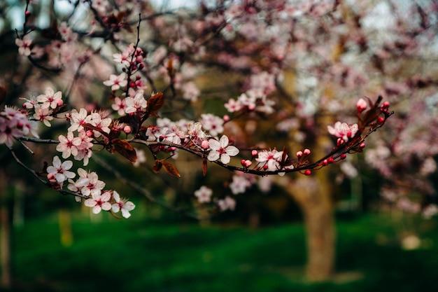 Blühende zarte rosa blumen eines obstbaumzweigs auf einem parkhintergrund mit frühlingsbäumen in der blüte