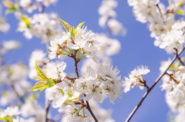 Blühende zweige der kirsche auf einem hintergrund des blauen himmels im frühjahr