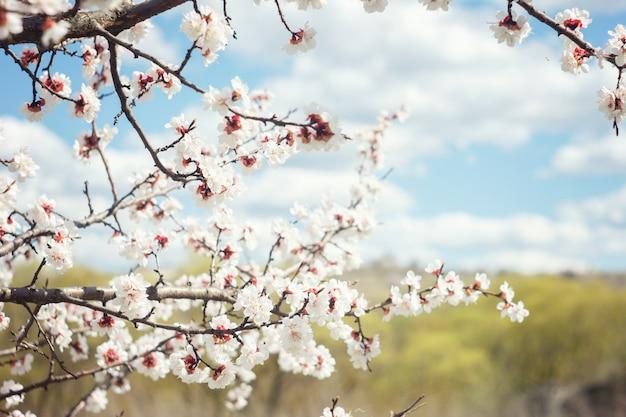 Blühende zweige der kirsche im frühjahr, weich sonnig