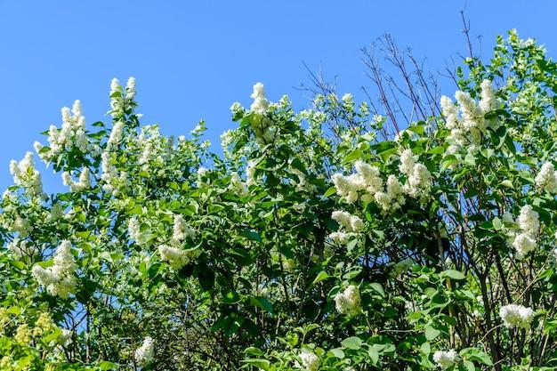 Blühende zweige des weißen fliederbaums im frühling