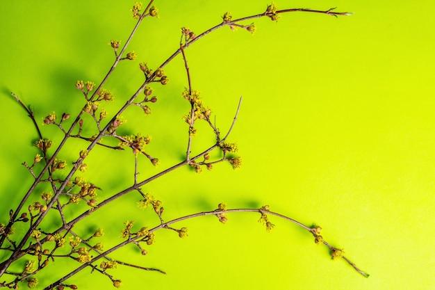 Blühende zweige hartriegel auf einem grünen sonnigen.