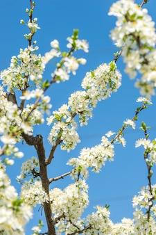 Blühende zweige von apfelbäumen