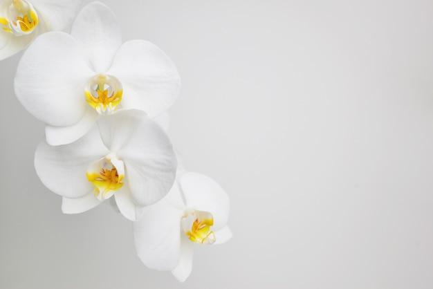 Blühende zweigorchidee phalaenopsis oder motte dendrobium closeup