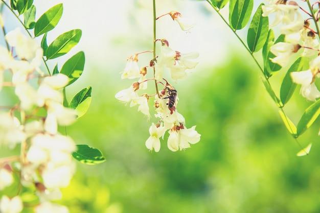 Blühender akazienbaum im garten. tiefenschärfe.