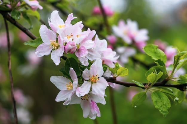 Blühender apfelbaum auf grünem hintergrund. weiße frühlingsblumen auf einem obstbaumzweig mit regentropfen.
