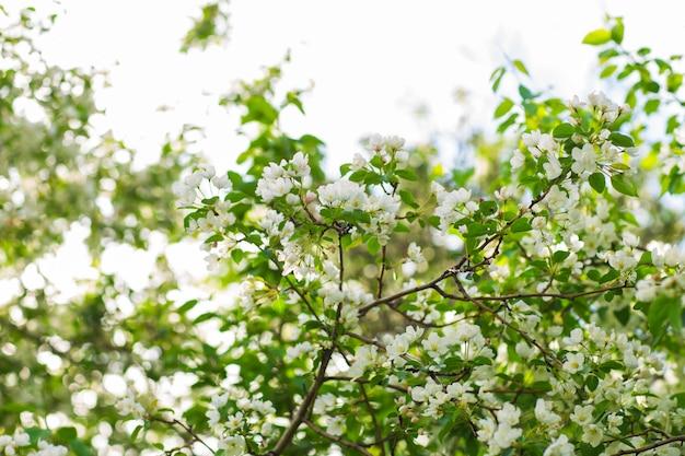 Blühender apfelbaum im frühling. schöner apfelbaumzweig