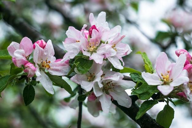 Blühender apfelbaum mit wassertropfen nach regen.