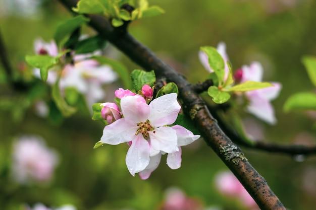 Blühender apfelbaumzweig. frühling, blumenhintergrund. blumengarten, blumentapete.