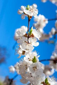 Blühender aprikosenbaumzweig gegen blauen himmel