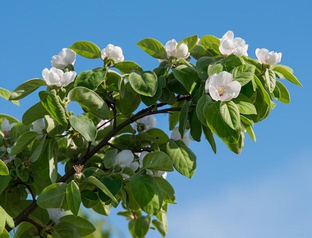 Blühender ast mit weißen blüten