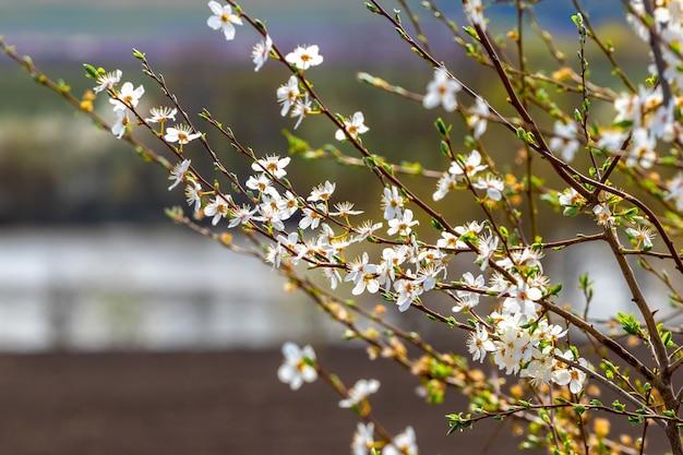 Blühender baum auf flusshintergrund, frühlingslandschaft