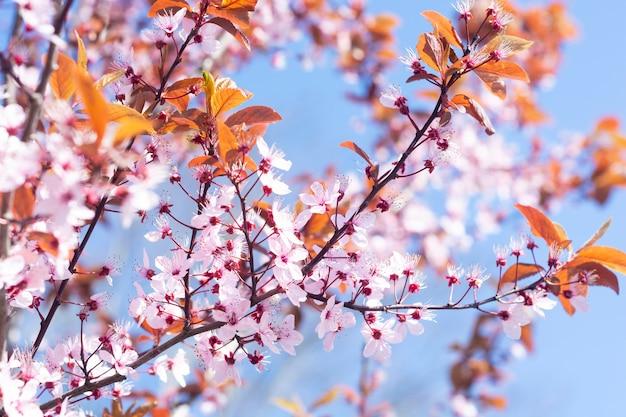 Blühender baum der rosafarbenen blumen des frühlinges über hintergrund des blauen himmels