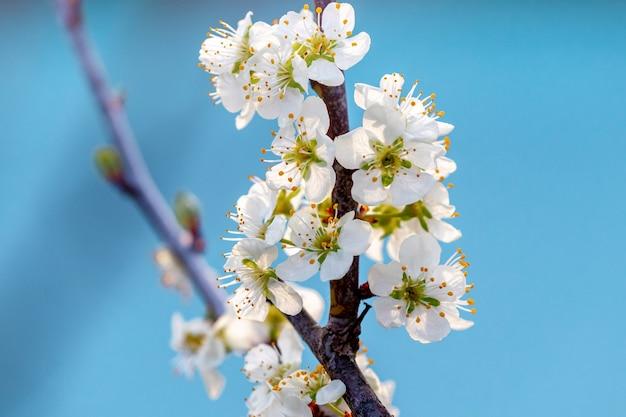 Blühender baum. pflaumenzweig mit weißen blumen auf blauem himmel