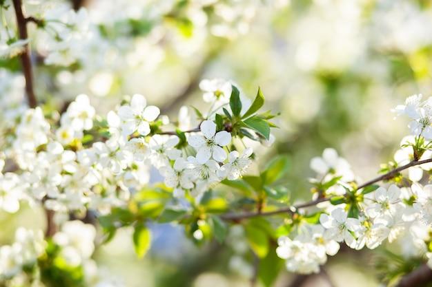 Blühender baum. schön blühender zweig kirsche. frühlingsblumen.
