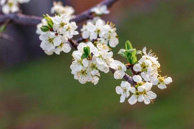 Blühender baum. weiße pflaumenblüten am baum