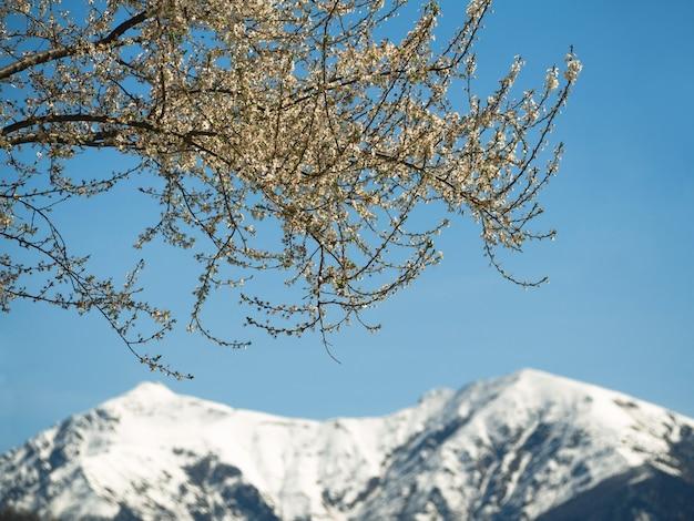 Blühender baumast mit weißen blumen am blauen himmel und im hintergrund der schneebedeckten berge. frühling