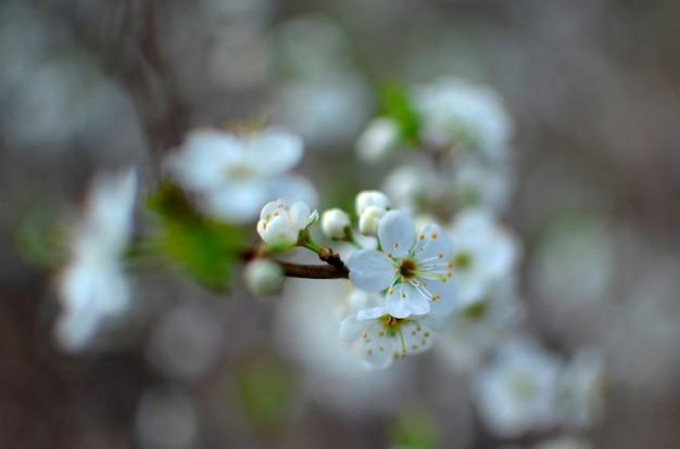 Blühender baumbrunch mit weißen blüten auf bokeh