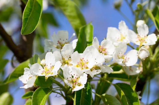 Blühender birnbaum auf einem hintergrund der natur. frühlingsblumen. frühlingshintergrund.