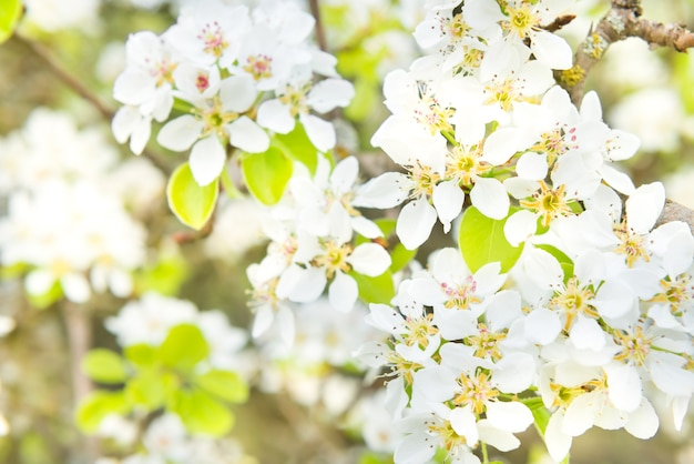 Blühender birnbaum in weißen blüten und grünem hintergrund