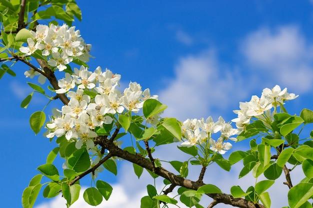 Blühender birnenzweig auf blauem himmelhintergrund am sonnigen frühlingstag