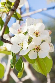 Blühender birnenzweig. blühender frühlingsgarten. blumen birne nahaufnahme. birnenblüte im zeitigen frühjahr