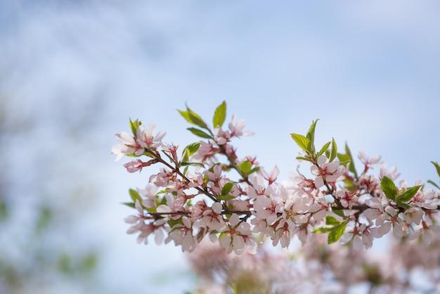 Blühender brunch auf hintergrund des blauen himmels. frühling blühen thema