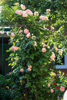 Blühender busch der rosa kletterrose cesar.