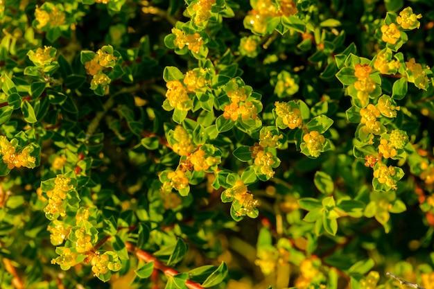 Blühender endemischer maltesischer wolfsmilch euphorbia melitensis strauch