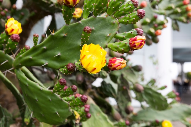 Blühender feigenkaktus. gelbe und rote zarte blumen zwischen den spitzen nadeln. foto in hoher qualität