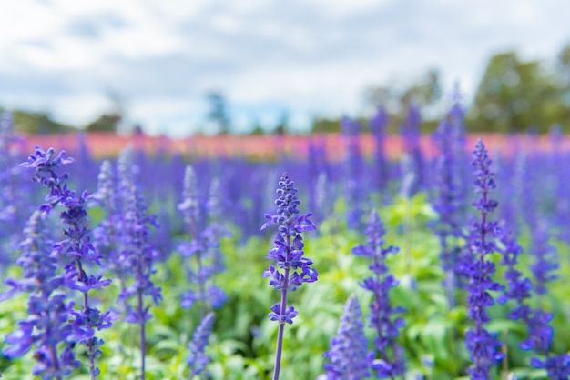 Blühender flacher und selektiver fokus der lavendel wächst auf dem feld.
