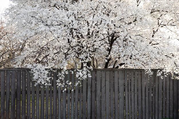 Blühender frühlingsbaum mit weißen schönen blumen.