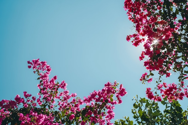 Blühender frühlingsblumenhintergrund rosa blühender baum vor dem hintergrund des sommerfrühlingshimmels...