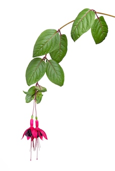 Blühender fuchsiazweig lokalisiert auf weiß Premium Fotos