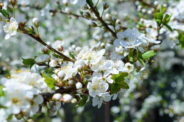 Blühender garten. obstbäume in voller blüte. frühlingslandschaft. selektiver fokus.