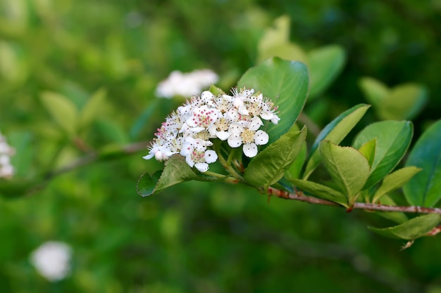 Blühender gartenfrühlingshintergrund der schwarzen apfelbeere mit weichem selektivem fokus