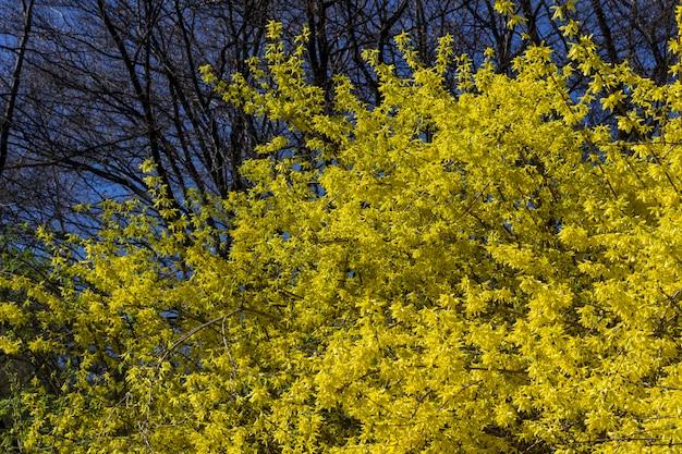 Blühender gelber akazienstrauch. bäume ohne blätter. heller frühlingstag