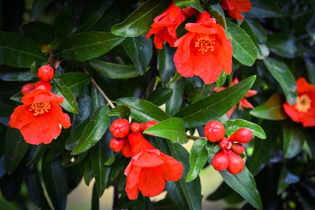 Blühender granatapfelbaum