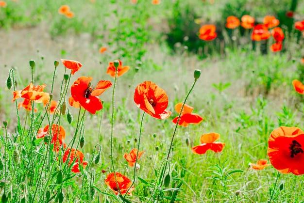 Blühender hintergrund der blumenmohnblume