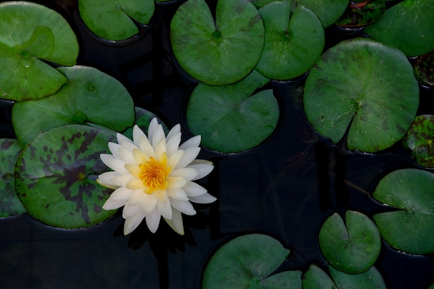 Blühender hintergrund der weißen lotusblume
