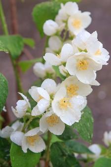 Blühender jasminbusch am sonnigen sommertag. jasminpflanze im garten. geringe schärfentiefe.