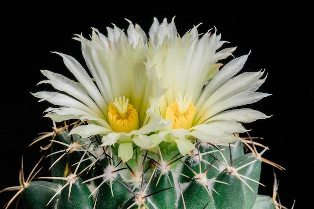 Blühender kaktus blüht coryphantha maiz-tablasensis