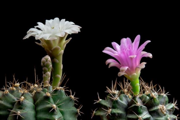 Blühender kaktus blüht gymnocalycium