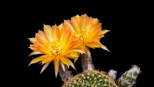 Blühender kaktus blüht lobivia-hybrid-orange farbe
