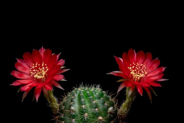 Blühender kaktus blüht lobivia-hybrid-rote farbe