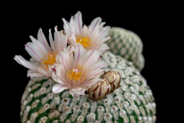 Blühender kaktus blüht mammillaria pectinifera