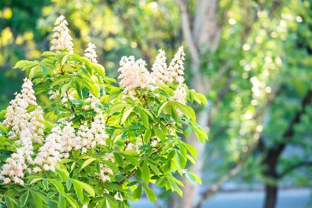 Blühender kastanienbaum in weißen blüten mit grünen blättern.