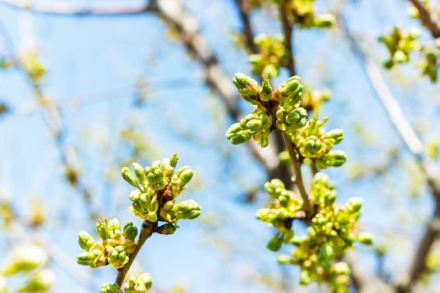 Blühender kirschbaum. kirsche beginnt zu blühen
