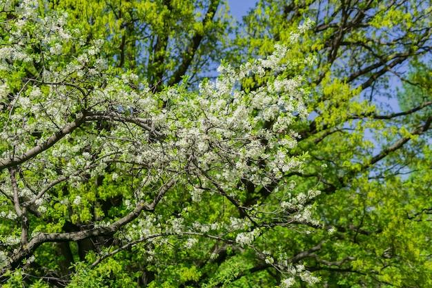 Blühender kirschbaumabschluß oben. frühlingslaub.